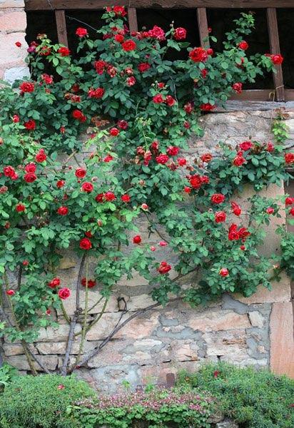 rosiers grimpant le long d 39 un mur. Black Bedroom Furniture Sets. Home Design Ideas
