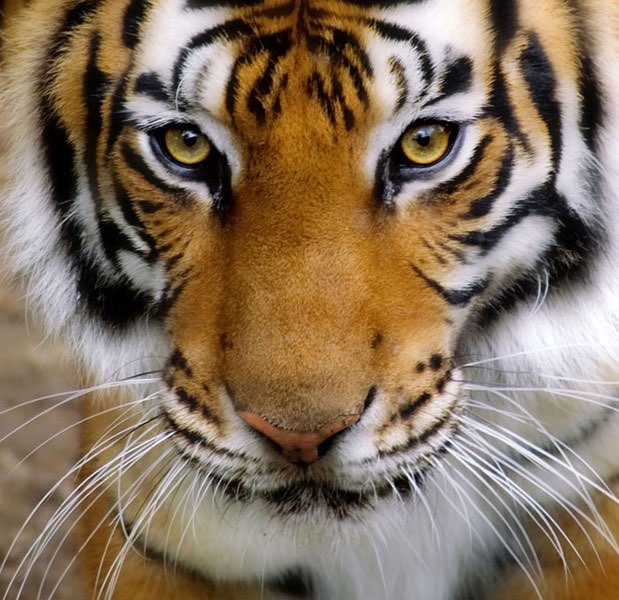 Top Gros plan sur une tête de tigre OP33